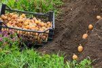 Миниатюра к статье Когда сажать картофель в [year] году по лунному календарю