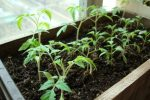 Миниатюра к статье Подкормка рассады томата