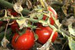 Миниатюра к статье Болезни томатов в теплице. (Фото и их лечение)