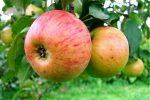 Миниатюра к статье «Медуница» — яблоня, сладкая без мёда