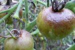 Миниатюра к статье О болезнях томатов, способы лечения и профилактика