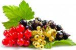 Миниатюра к статье Полив смородины кипятком увеличит урожайность