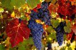Миниатюра к статье Характеристика сорта винограда «Амурский»