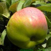 Миниатюра к статье Яблоки «Богатырь»: особенности сорта