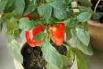 Миниатюра к статье Выращиваем вкусный болгарский перец дома