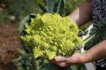 Миниатюра к статье Брокколи, особенности выращивания и ухода