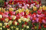 Миниатюра к статье Советы по уходу за тюльпанами