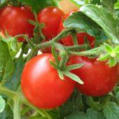 Миниатюра к статье Как ухаживать за помидорами?