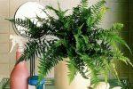 Миниатюра к статье Тенелюбивые комнатные растения, названия и фото
