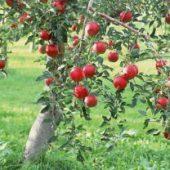 Миниатюра к статье Как правильно посадить яблоню весной?