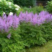 Миниатюра к статье Прекрасная астильба в вашем саду