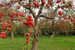 Яблоня богатырь описание фото отзывы посадка