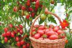 Миниатюра к статье «Чио-чио-сан» отзывы опытных овощеводов