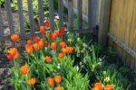 Миниатюра к статье Как посадить тюльпаны весной, чтобы они цвели.