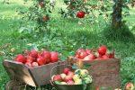Миниатюра к статье Чем обработать яблони от вредителей и болезней