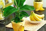 Миниатюра к статье Выращивание банана в домашних условиях