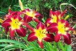 Миниатюра к статье Лилейники в саду и цветнике