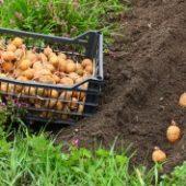Миниатюра к статье Отличные урожаи картофеля без окучивания и прополки