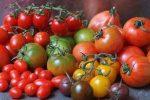 Миниатюра к статье Фитофтора не для теплицы — подбор сортов томатов