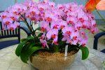 Миниатюра к статье Орхидея фаленопсис: уход в домашних условиях после магазина