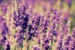 Миниатюра к статье Лаванда, выращивание из семян в домашних условиях