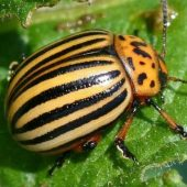 Миниатюра к статье Народные методы борьбы с колорадским жуком