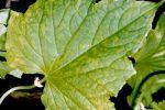 Миниатюра к статье Почему желтеют листья у огурцов в открытом грунте?