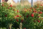 Миниатюра к статье Советы как правильно ухаживать за малиной весной