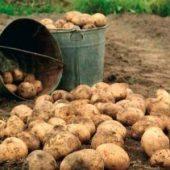 Миниатюра к статье Картофель по Луне и правилам агротехники