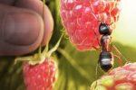 Миниатюра к статье Способы борьбы с муравьями в теплице