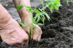 Миниатюра к статье Как высаживать помидоры в открытый грунт?