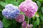Миниатюра к статье Гортензия садовая - посадка и уход