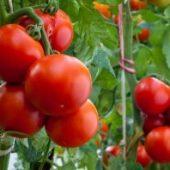 Миниатюра к статье Как правильно подкармливать помидоры