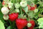 Миниатюра к статье Подкормки для клубники во время формирования ягод