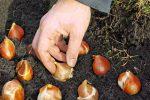 Миниатюра к статье Посадка тюльпанов под зиму