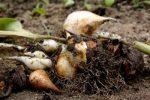 Миниатюра к статье Когда выкапывают тюльпаны после цветения?