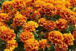 Миниатюра к статье Как вырастить бархатцы из семян?