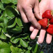 Миниатюра к статье Чем обработать клубнику весной от болезней и вредителей