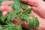 Миниатюра к статье Когда сеять помидоры на рассаду в [year] году по лунному календарю