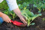 Миниатюра к статье Когда сажать капусту на рассаду в [year] году по Лунному календарю