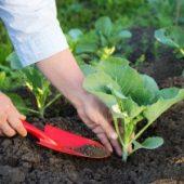 Миниатюра к статье Что и как надо делать, чтобы иметь отменную рассаду капусты?