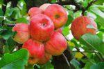Миниатюра к статье «Уэлси» — яблоко для зимнего наслаждения