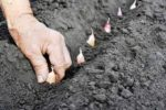 Миниатюра к статье Какие семена лука или гороха глубже заделывают в почву и почему?
