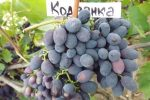 Миниатюра к статье Виноград «Кодрянка» — ранний и вкусный