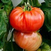 Миниатюра к статье Как выращивать помидоры по методу Маслова