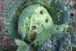Миниатюра к статье Вредители капусты и как с ними бороться