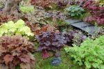Миниатюра к статье Выращиваем Гейхеру в саду