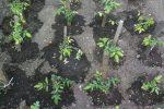 Миниатюра к статье Подкормка рассады томатов и перца народными средствами