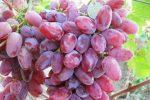 Миниатюра к статье Виноград «Клеопатра» — сажать, или подождать