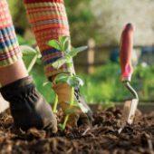 Миниатюра к статье Лунный посевной календарь садовода и огородника на 2017 года